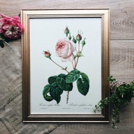 cadre redouté Rosa centifolia Bullata
